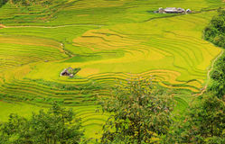 Rice plantation Stock Photography