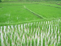 Rice plantation. In Asia royalty free stock image