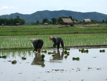 Rice plantation in asia. Women working in a rice plantation in asia royalty free stock image