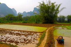 Rice plantation in China Royalty Free Stock Photos