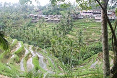 Rice plantation in Indonesia and traditional houses royalty free stock photo