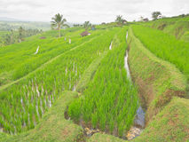Rice plantation at Jatiluwih rice terraces Royalty Free Stock Photography