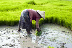 Rice plantation in Laos Stock Photos