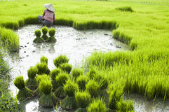 Rice plantation in Laos Stock Photography
