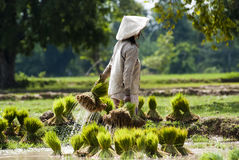 Rice plantation in Laos Stock Photo