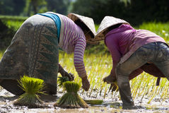 Rice plantation in Laos Royalty Free Stock Images