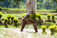 Rice plantation in Laos Stock Image