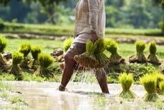 Rice plantation in Laos stock image
