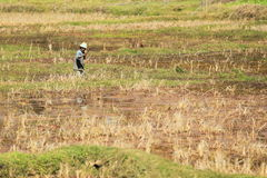 Rice plantation in Madagascar Royalty Free Stock Photos