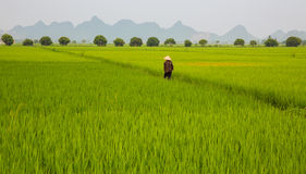 Rice plantation and man stock photography