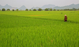 Rice plantation and man Royalty Free Stock Photos