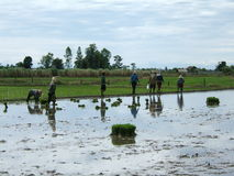 Rice plantation in Thailand. Women working in a rice plantation royalty free stock photo