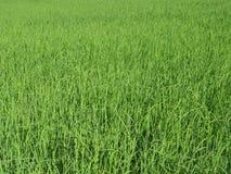 Rice plantation in Thailand Stock Photos