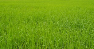 Rice plantation in Thailand Royalty Free Stock Images