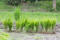 Rice plantation in thailand, preparing for farming, in thailand Stock Photos