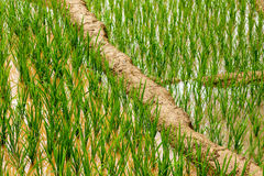 Rice plantations. Vietnam Royalty Free Stock Photos