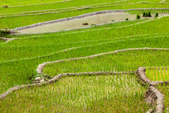 Rice plantations. Vietnam Stock Images
