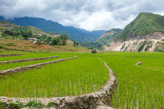 Rice plantations. Vietnam Royalty Free Stock Image