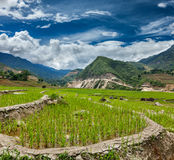 Rice plantations. Vietnam Royalty Free Stock Photos