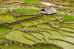 Rice plantations. Vietnam Stock Images