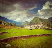 Rice plantations. Vietnam Stock Photos