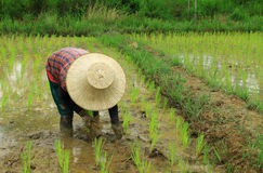 Rice planting Stock Images