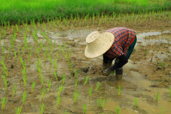 Rice planting Stock Image