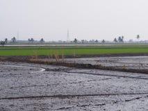 Rice planting area. Farm field Stock Photo