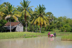 Rice planting in the Cambodian countryside Stock Photography