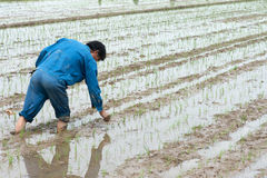 Rice Planting. A chinese farmer plants rice by hand Stock Photo