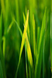 Rice planting closeup Royalty Free Stock Photography