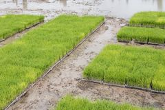 Rice planting in farm. Transplant young rice seedling on paddy f. Ield in farmland Stock Photo