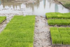 Rice planting in farm. Transplant young rice seedling on paddy f. Ield in farmland Royalty Free Stock Photos