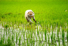 Rice Planting. A farmer planting rice at Los Banos, Laguna, Philippines royalty free stock photography