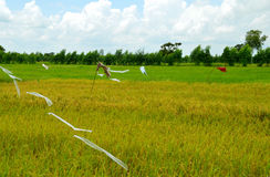 Rice planting field. Ready to harvest in the Northeast of Thailand Stock Photo