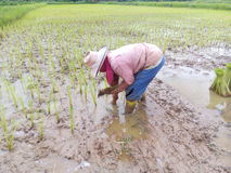 Rice Planting. Form crop implant stock photography