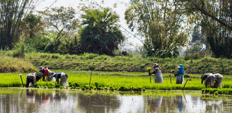 Rice Planting. In north of Thailand Stock Image
