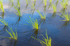 Rice planting. Paddy field of rice planting Stock Photo