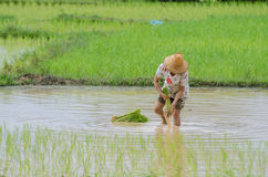 Rice planting Royalty Free Stock Photography