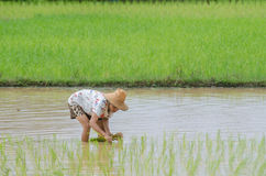 Rice planting Stock Photos
