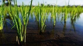Rice plants grow in Asia stock images