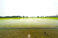 Rice planting season for the start of the rainy season Royalty Free Stock Image