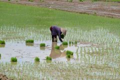 Rice planting. Vietnamese woman planting rice in a paddy Stock Photos
