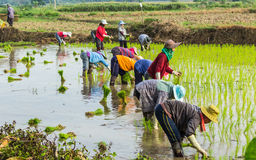 Rice planting Royalty Free Stock Image