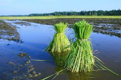 Rice Plants Stock Image