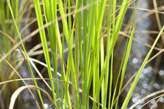 Rice Plants. South of Thailand Stock Photo