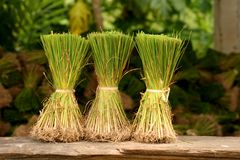 Rice Plants. 3 Rice Plants in front of rice plant stock Stock Images