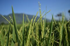 Rice plants are dense in the fields. The fields is in central java, Indonesia Stock Photos