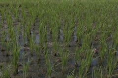 Rice plants Stock Photography