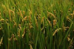 Rice plants Stock Image